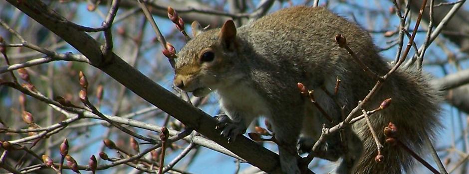 Squirrels in atttic